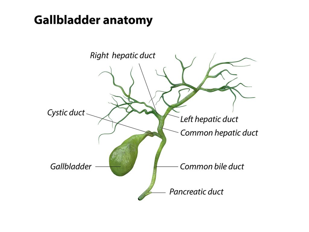 Anatomy of the gallbladder.
